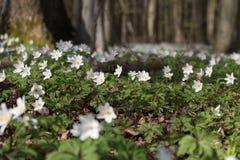 Anemoner som dekorerar skoggolvet, Danmark Royaltyfria Foton