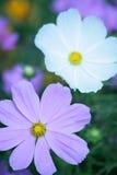 anemoner stänger sig upp Arkivbild