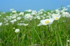 anemones άνθισμα πεδίων Στοκ εικόνες με δικαίωμα ελεύθερης χρήσης