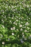 anemones δάσος Στοκ Εικόνες