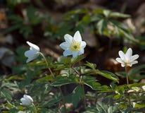 anemones δάσος Στοκ εικόνα με δικαίωμα ελεύθερης χρήσης