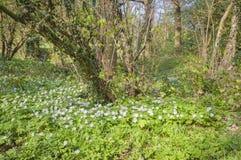 anemones δάσος Στοκ εικόνες με δικαίωμα ελεύθερης χρήσης
