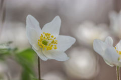 anemones δάσος Στοκ Φωτογραφίες