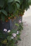 Anemones, Αγγλία Στοκ εικόνες με δικαίωμα ελεύθερης χρήσης
