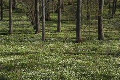 anemones δάσος Στοκ Φωτογραφία