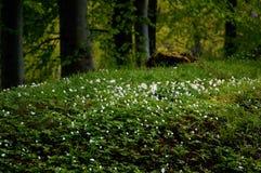 anemones δάσος Στοκ φωτογραφίες με δικαίωμα ελεύθερης χρήσης