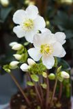anemones δοχείο λευκό σαν το χι Στοκ Εικόνα