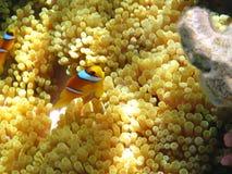 anemones ενωμένη clownfish θάλασσα δύο Στοκ εικόνα με δικαίωμα ελεύθερης χρήσης