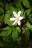 anemones λευκό Στοκ εικόνα με δικαίωμα ελεύθερης χρήσης