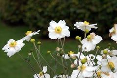 anemones λευκό Στοκ Φωτογραφίες