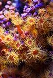 anemones θάλασσα Στοκ Εικόνες