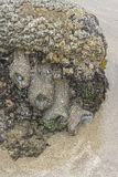 Anemones και λαβίδες σε ένα ωκεάνιο tidepool Στοκ εικόνες με δικαίωμα ελεύθερης χρήσης