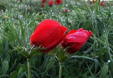 Anemones και δροσιά Στοκ εικόνα με δικαίωμα ελεύθερης χρήσης