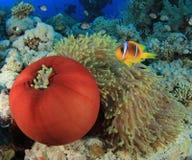 Anemones και Clownfish Στοκ εικόνα με δικαίωμα ελεύθερης χρήσης