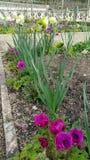 Anemones και daffodils Στοκ Εικόνα
