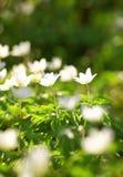anemones λευκό Στοκ Φωτογραφία