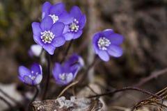 anemones μπλε Στοκ Εικόνες