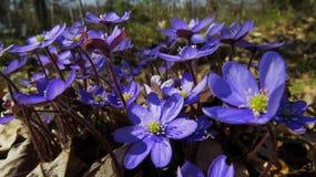 anemones μπλε Στοκ φωτογραφίες με δικαίωμα ελεύθερης χρήσης