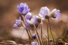 anemones μπλε Στοκ εικόνα με δικαίωμα ελεύθερης χρήσης