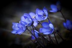 anemones μπλε Στοκ φωτογραφία με δικαίωμα ελεύθερης χρήσης