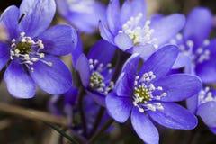 anemones μπλε Στοκ Φωτογραφίες