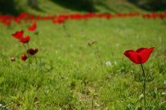 anemones πεδίο Στοκ Φωτογραφία