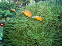 anemones πολλαπλάσια μεφίτιδα ψ& Στοκ εικόνες με δικαίωμα ελεύθερης χρήσης