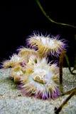 anemones πορφυρή θάλασσα κίτρινη Στοκ Εικόνες