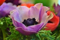 anemones πορφύρα Στοκ Εικόνες