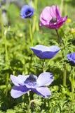 Anemones που ανθίζει στα πολυ χρώματα Στοκ Φωτογραφία