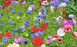 Anemones στον κήπο Keukenhof Στοκ Φωτογραφίες