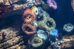 Anemones στο ενυδρείο του oceanario, Λισσαβώνα Στοκ Εικόνες