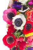 Anemones στο λευκό Στοκ Εικόνες