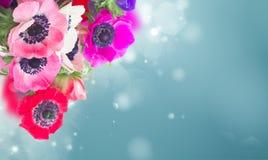 Anemones στο λευκό Στοκ Φωτογραφίες