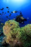 anemones φωτογράφος υποβρύχιο&sigm Στοκ Εικόνα
