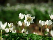 anemones Στοκ φωτογραφία με δικαίωμα ελεύθερης χρήσης