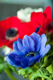 Anemones Royalty Free Stock Photos
