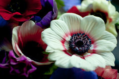 Anemones Στοκ Φωτογραφία
