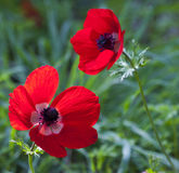 Anemones Royalty Free Stock Images