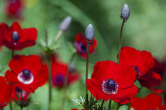 Anemones Royalty Free Stock Photo