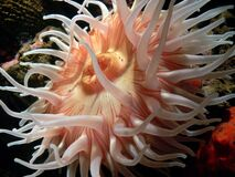 Anemones (4) Stock Photo