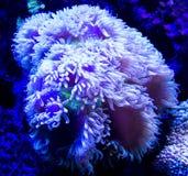 anemones Fotos de Stock Royalty Free