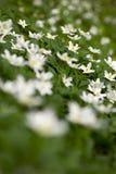 Anemones. Royalty Free Stock Image