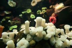 Anemones in Aquarium Royalty Free Stock Image
