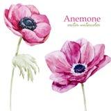 Anemones Stock Photography