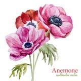 Anemones Stock Photos