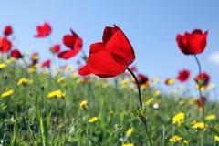 Anemones bloom Royalty Free Stock Photo