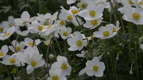 Anemones bloom in the spring stock video footage