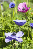 Anemones blooming in multi colors Stock Photography