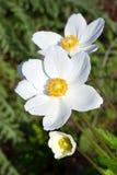 Anemones brancos imagem de stock
